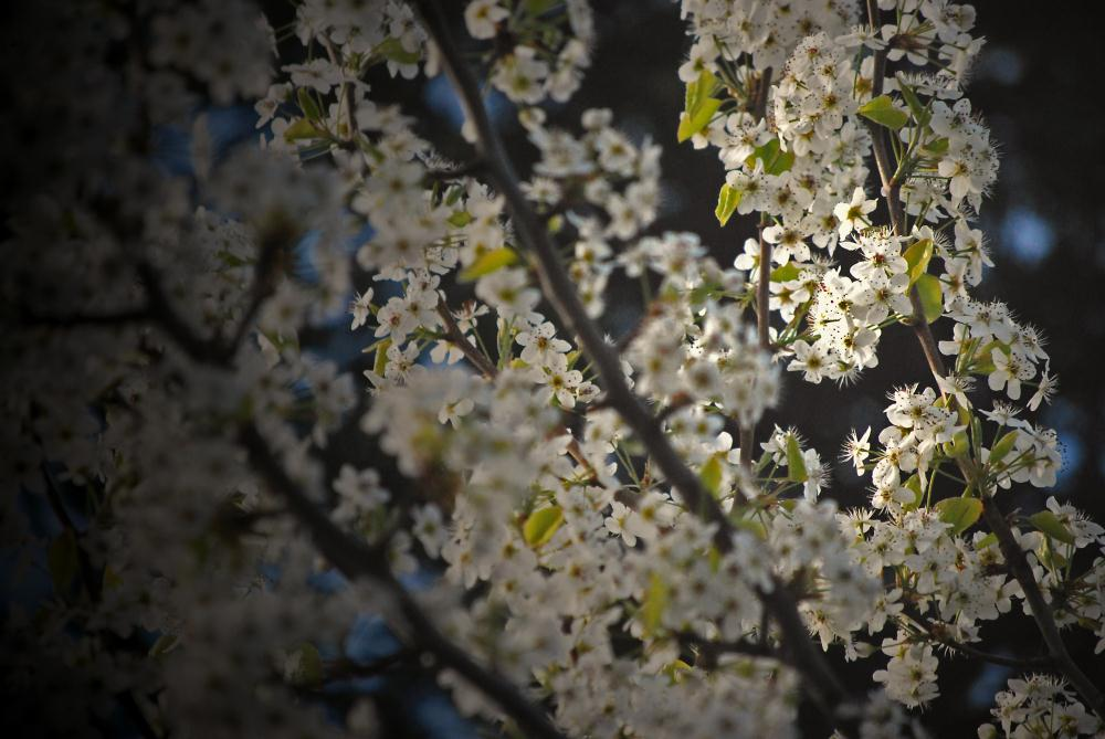 Flowering Dogwood | Photos by Pinta