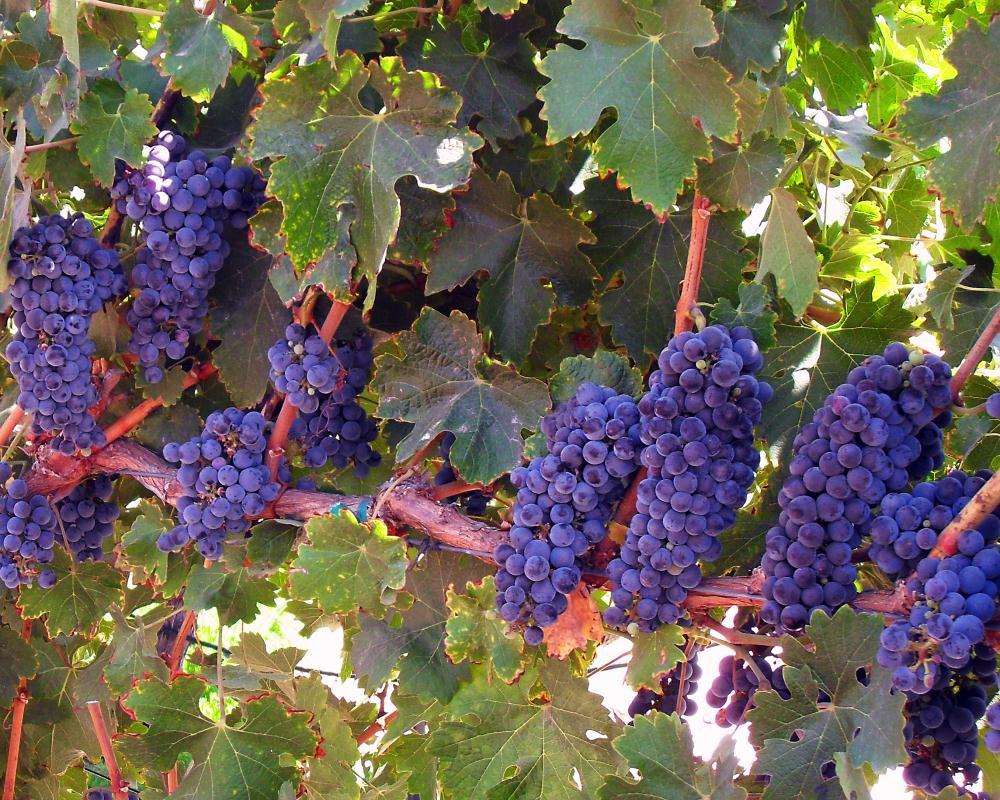 Vineyard | Photos by Pinta
