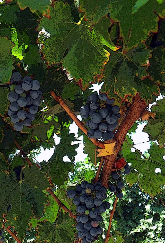 Grapes | Photos by Pinta