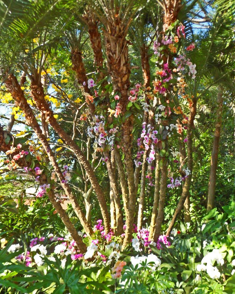 paetteknifeorchidtree |