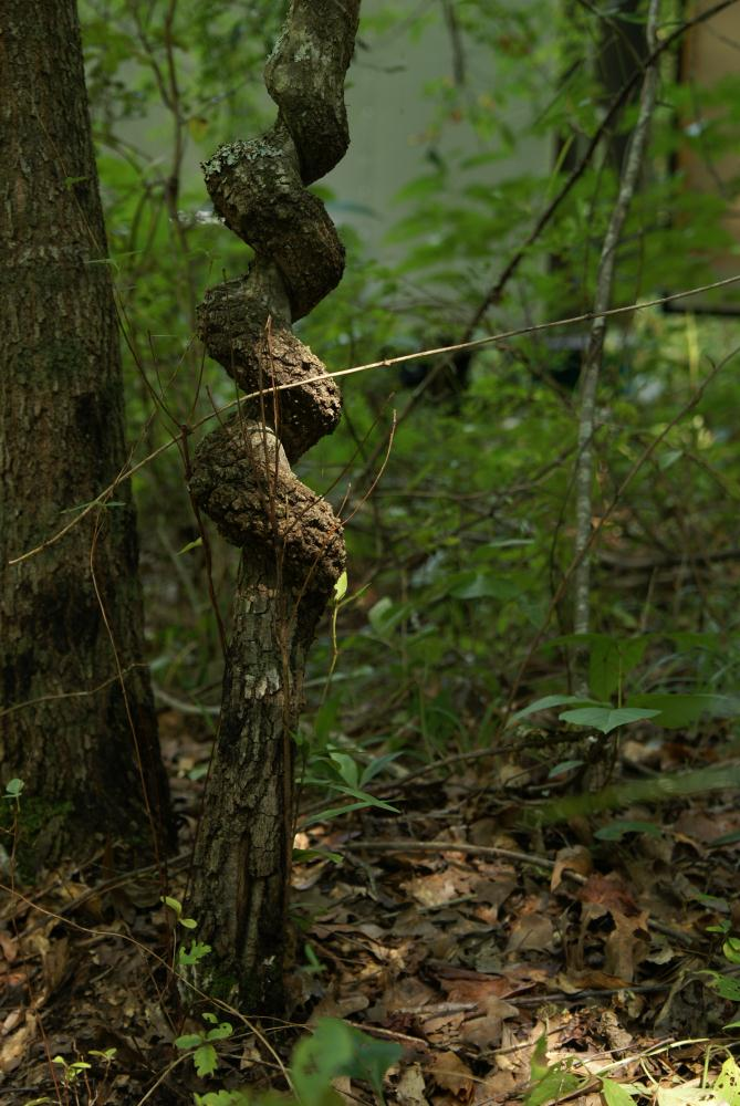 Twisted Tree   SasEz! Shots