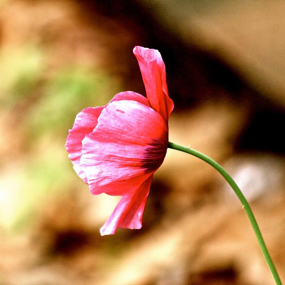 Pink Poppy | Donna Starnes Creative