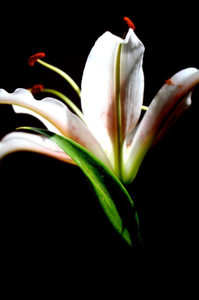Lilly | Donna Starnes Creative