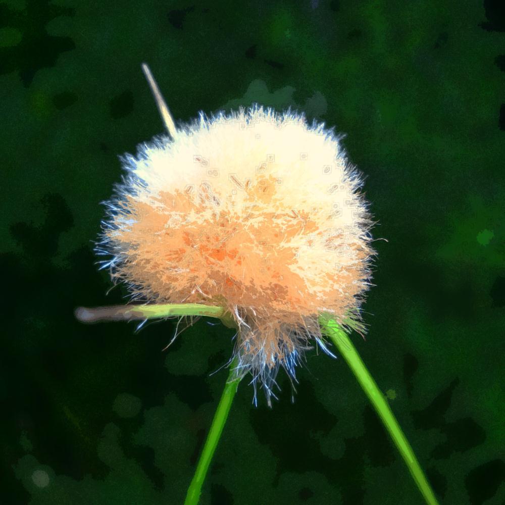 Tawny Cottongrass  | K DucoteSchimmel Art & Ph...