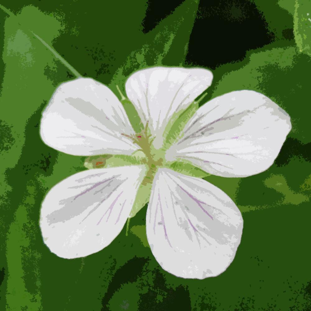 White Geranium | K DucoteSchimmel Art & Ph...
