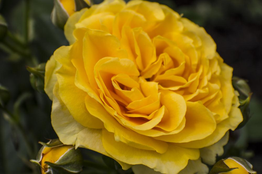 Yellow Rose | My Artwork