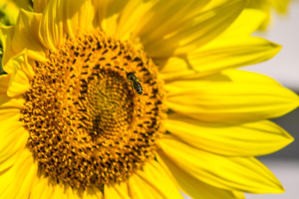 Bee And Sunflower | My Artwork