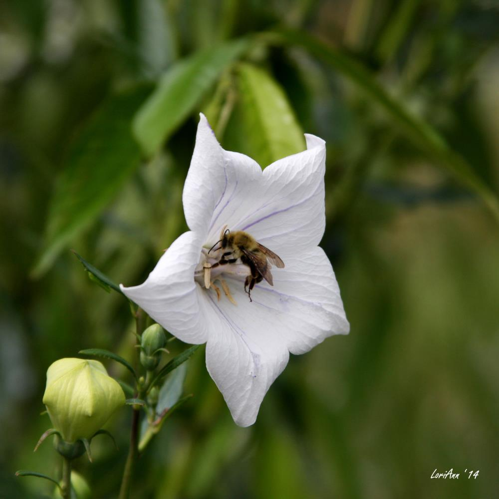 Bee Pollenation 1 | LoriAnn's Photography & A...