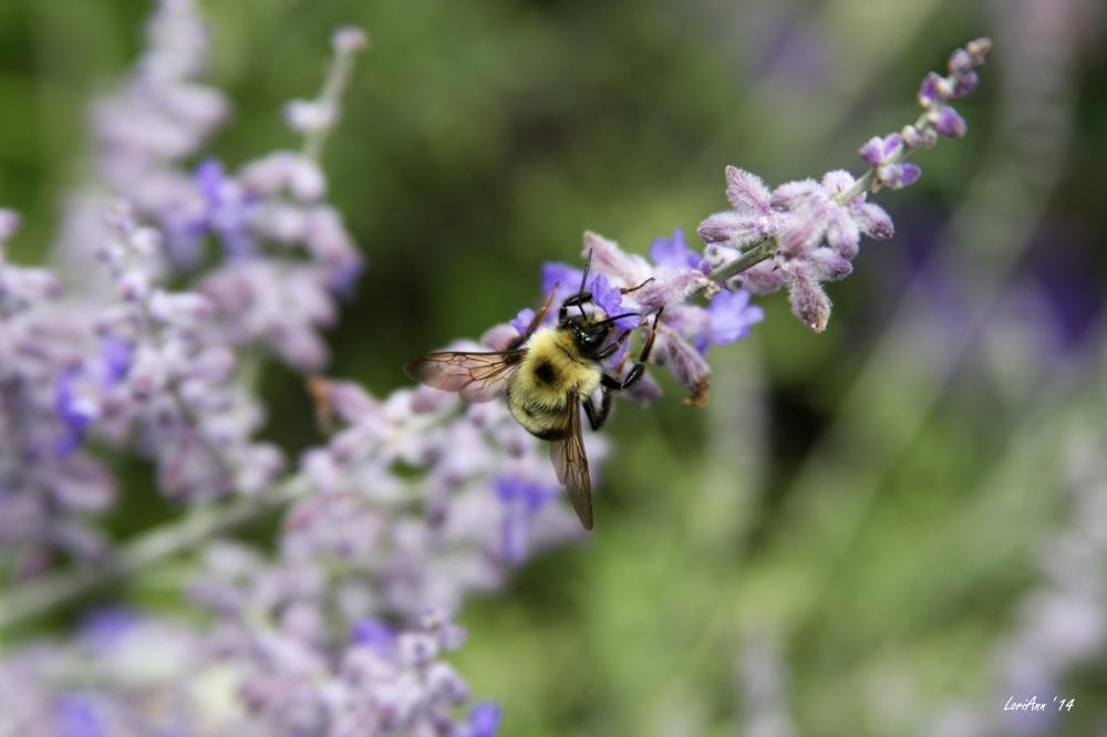 Bee Pollenation 2 | LoriAnn's Photography & A...