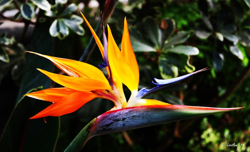 Bird of Paradise | LoriAnn's Photography & A...