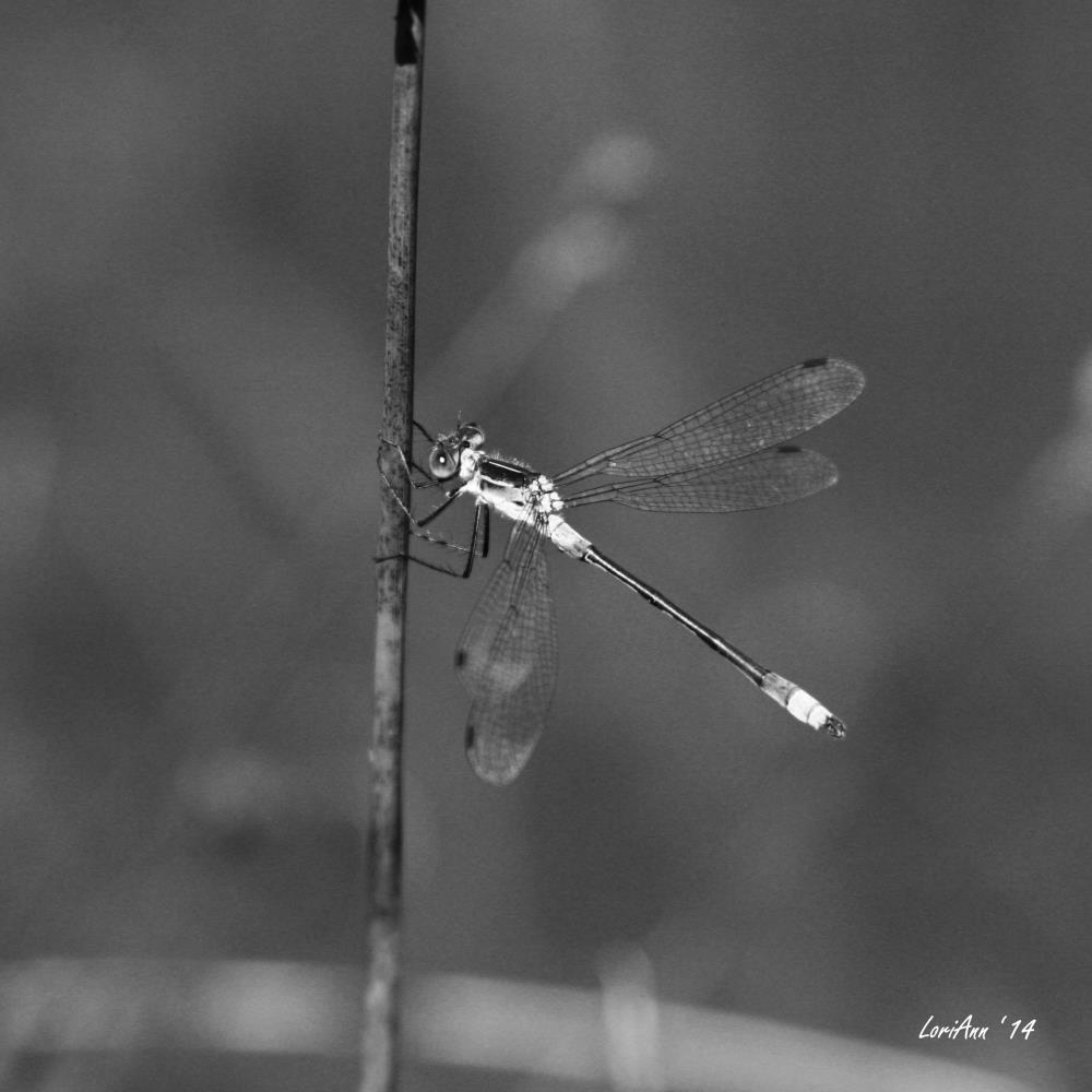 Bluet - B&W | LoriAnn's Photography & A...
