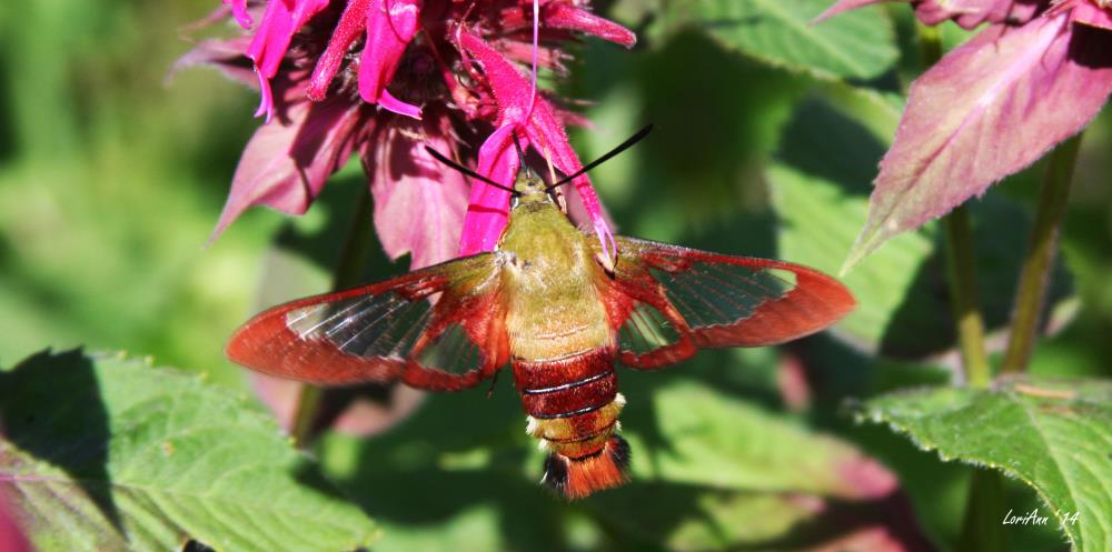 Hummingbird Clearwing & B... | LoriAnn's Photography & A...