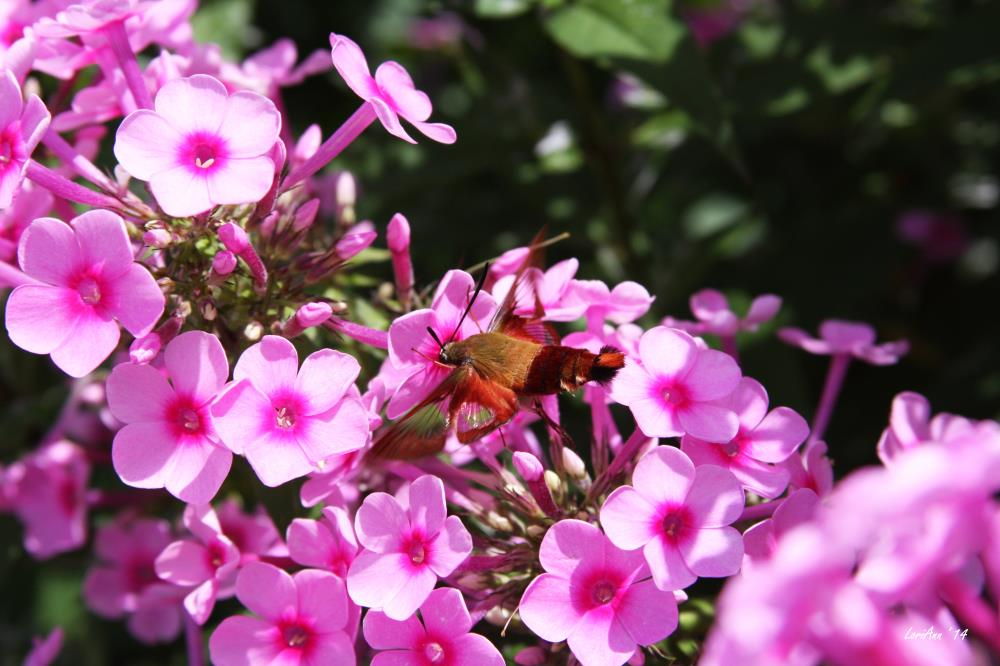 Hummingbird Clearwing & P... | LoriAnn's Photography & A...