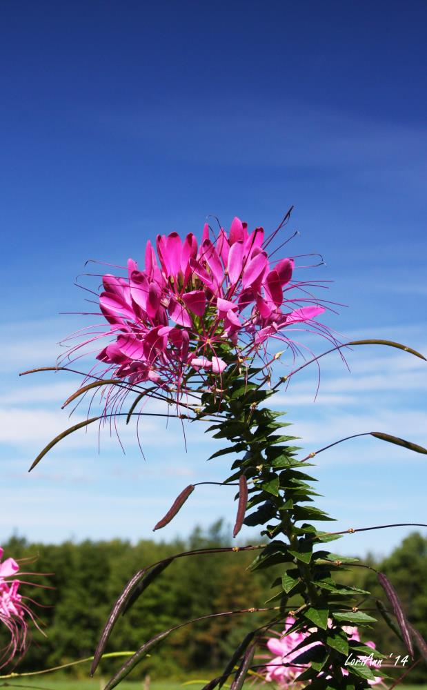 Leaning Cleome | LoriAnn's Photography & A...