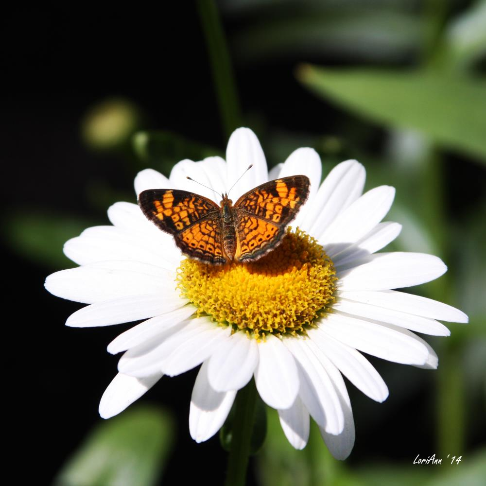 Resting on a Bright Daisy | LoriAnn's Photography & A...