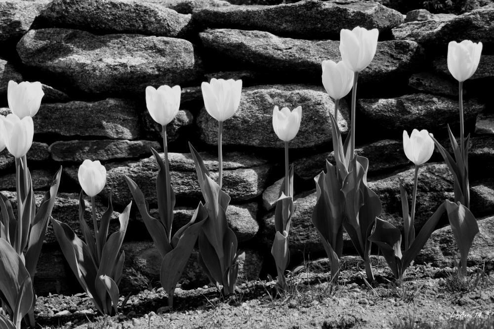 Shining Tulips | LoriAnn's Photography & A...