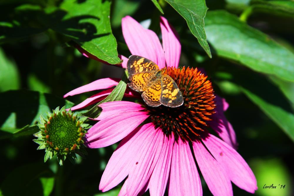 Sitting on a Coneflower | LoriAnn's Photography & A...