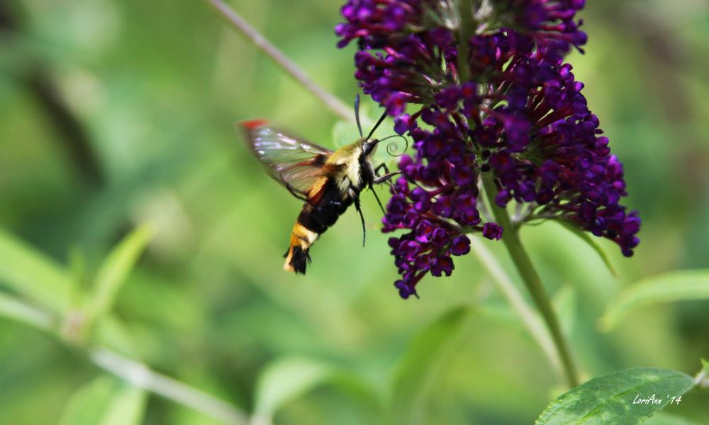Snowberry Clearwing 1 | LoriAnn's Photography & A...