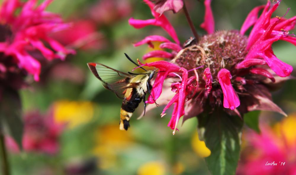 Snowberry Clearwing 2 | LoriAnn's Photography & A...