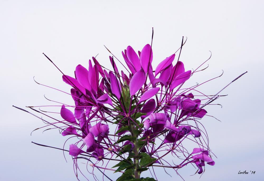 Spider Flower - CloseUp | LoriAnn's Photography & A...
