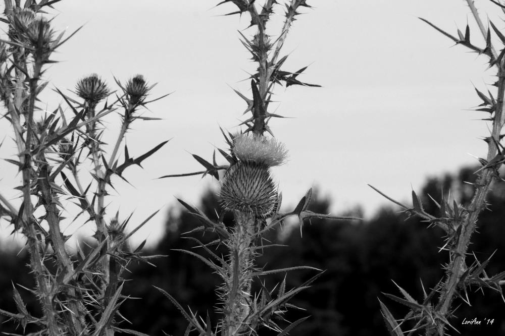 Thistle Thorns | LoriAnn's Photography & A...