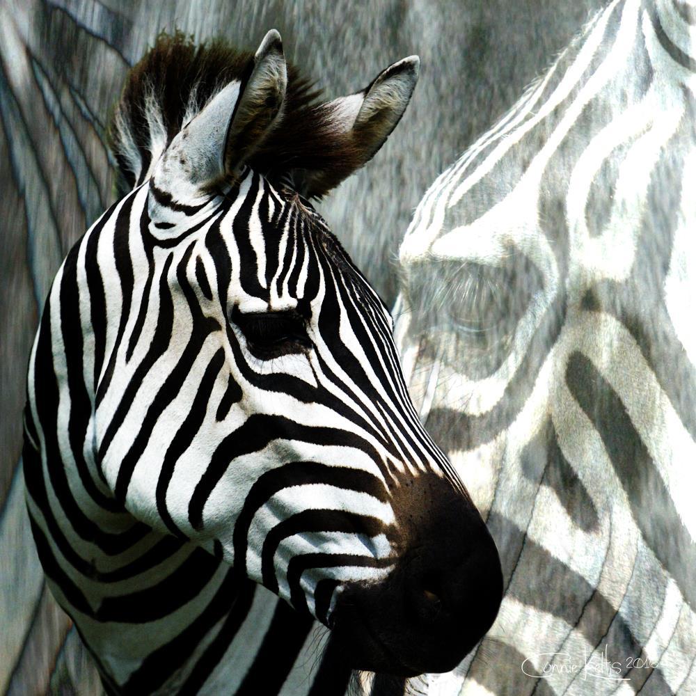 Zebra's Camo    C. Kelts Graphic Design