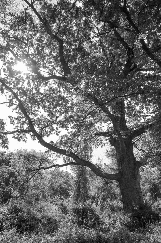 Oak in Black and White | Of Spirit and Soul