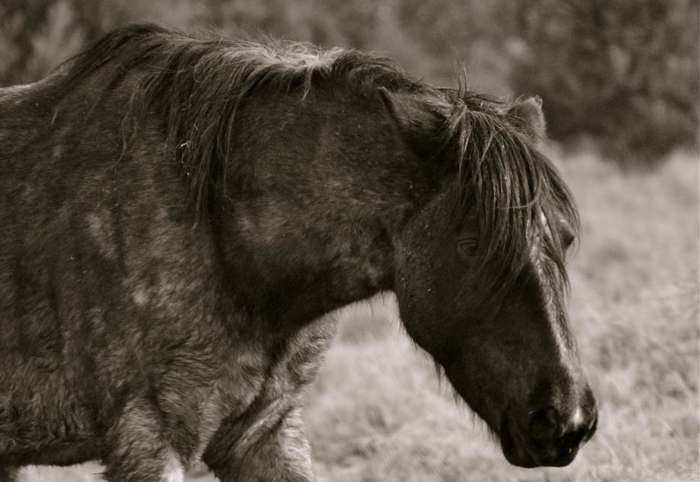 Black Stallion | My Art's Desire