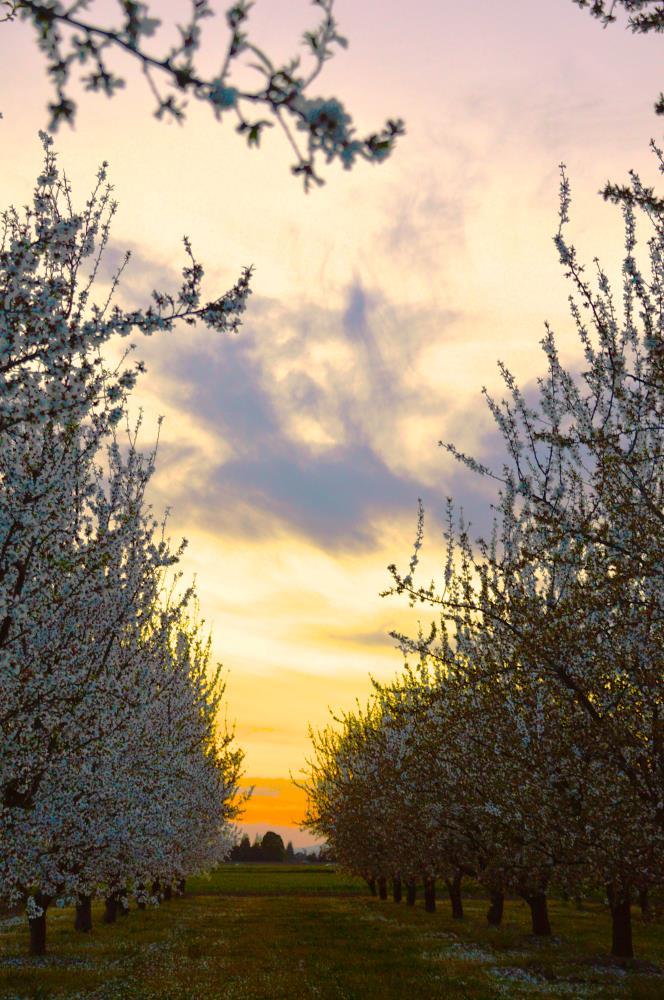 Almond Sunset   My Art's Desire