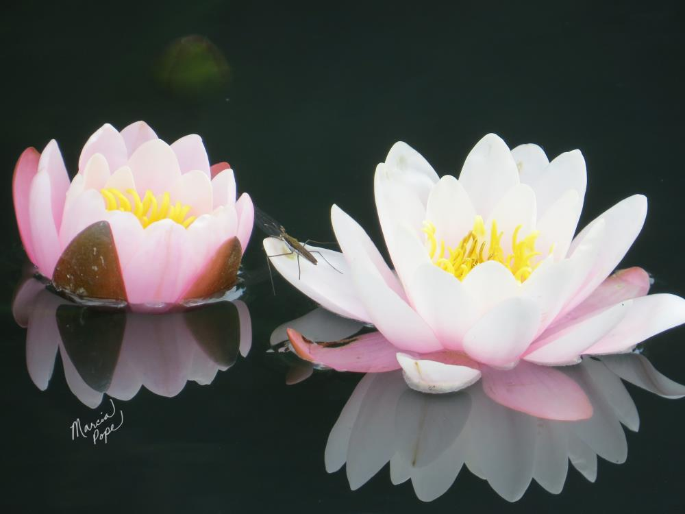 Water Lilies and Bug | Spare Moments Art