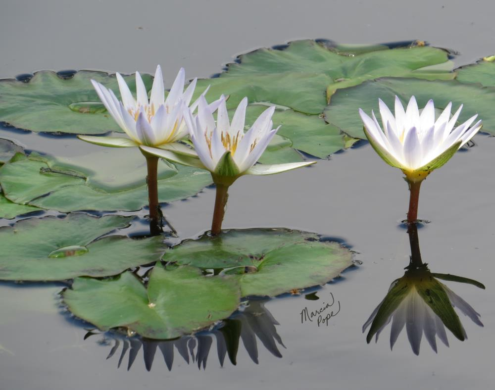 White Water Lilies | Spare Moments Art