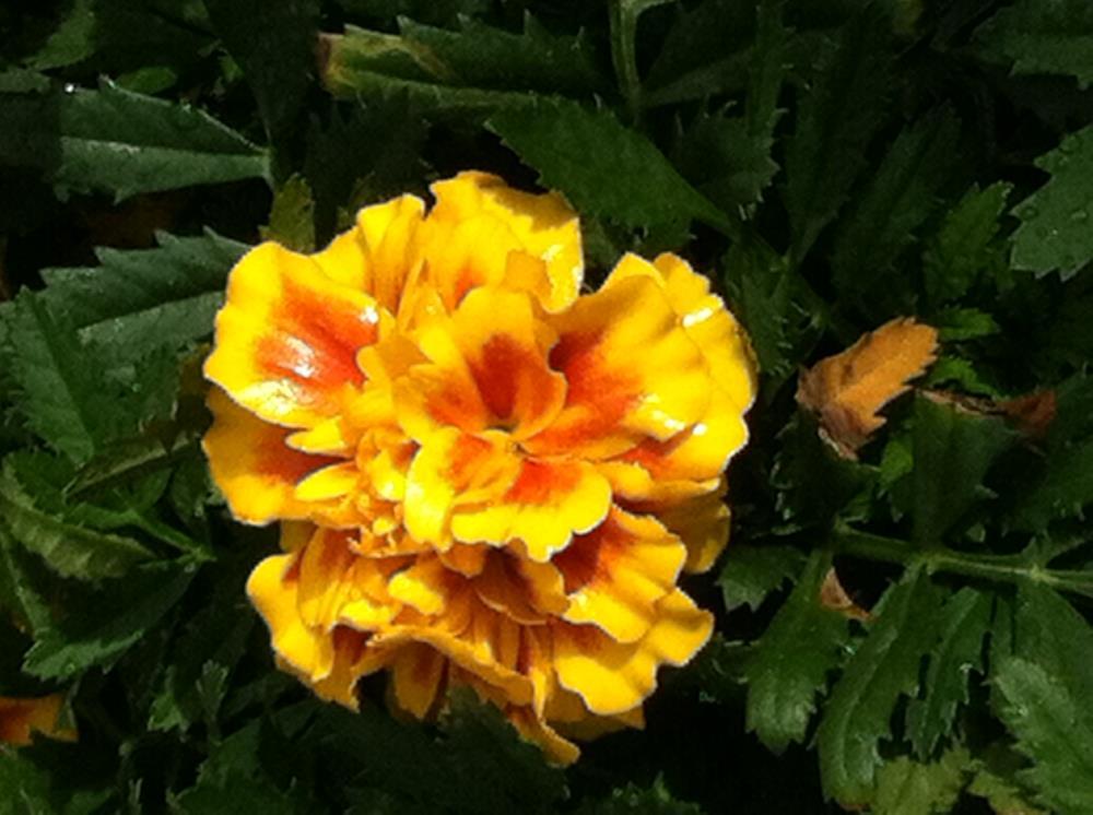 Marigold | Paitings by Kat