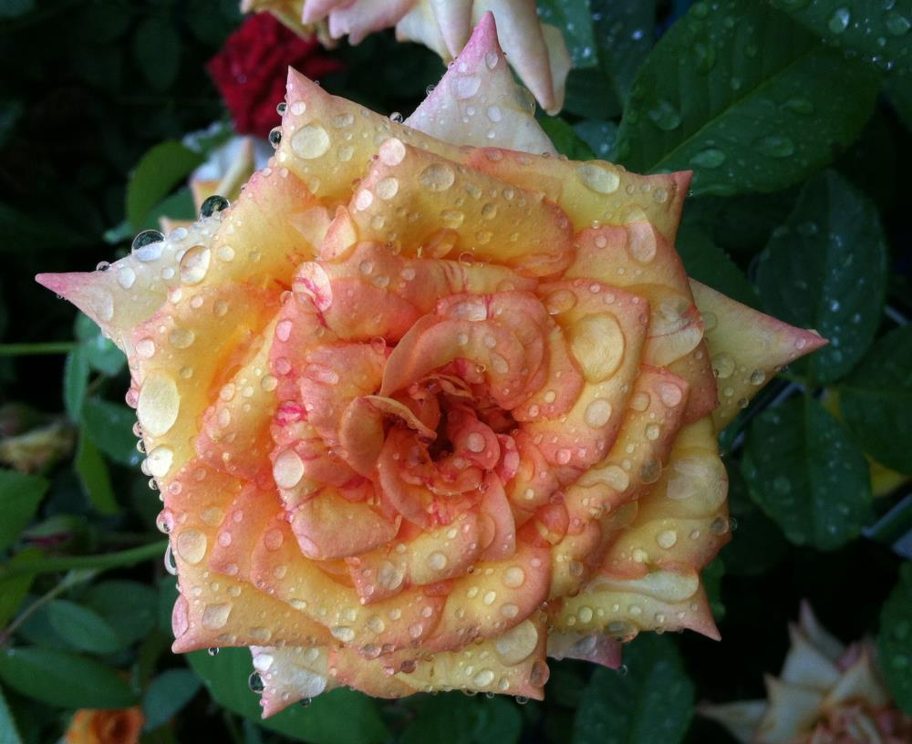 Peach Rose | Paitings by Kat