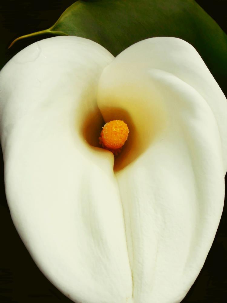 Calla white one | peinture proximite`