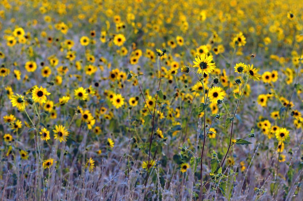 Sunflower2145 |