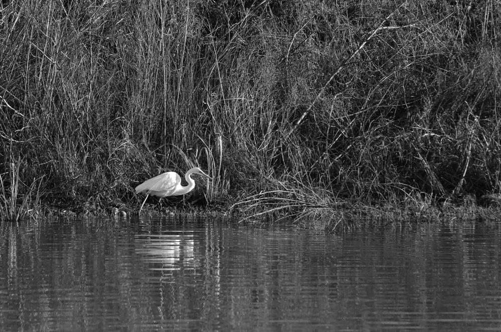 Great Egret   Photography & Artwork