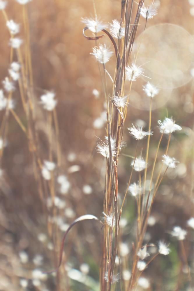 Feather Grass 1 | StillWorks Imagery