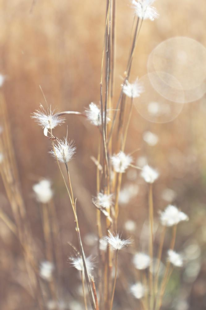 Feather Grass 2 | StillWorks Imagery