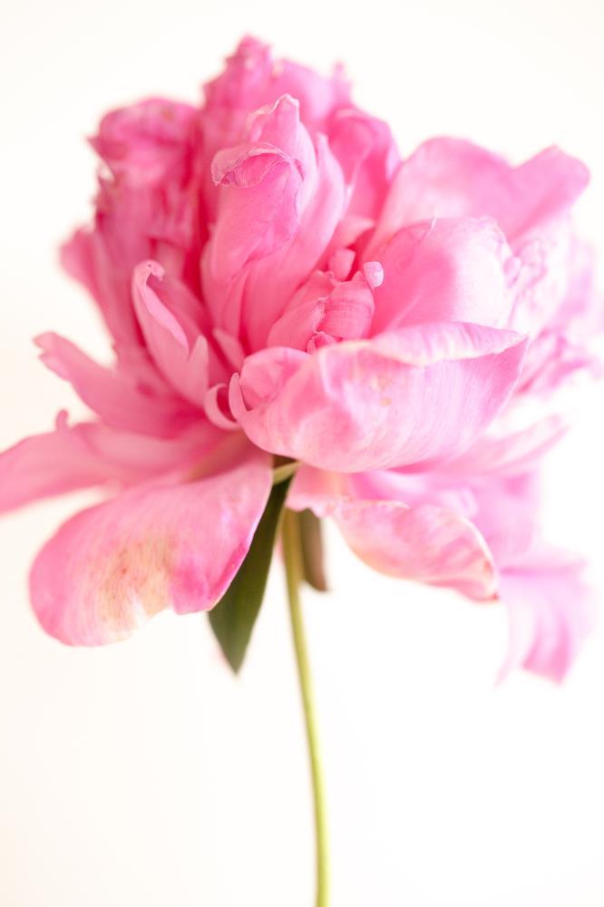 Pink Peony |