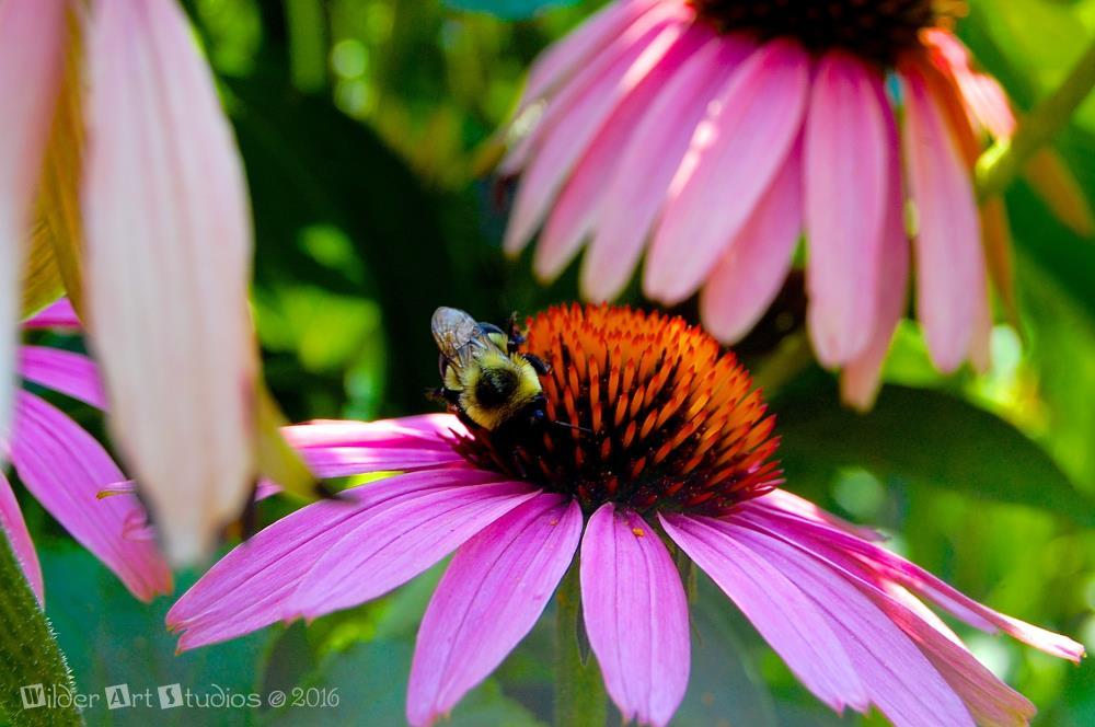 Echinacea Flower | Wilder Art Studios