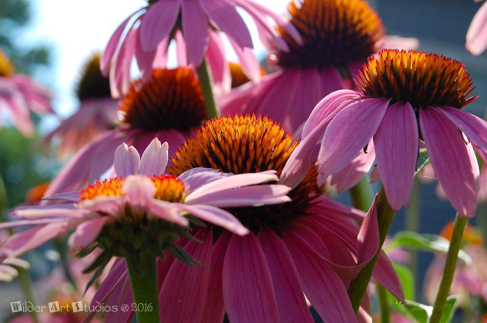 Echinacea Flowers  | Wilder Art Studios