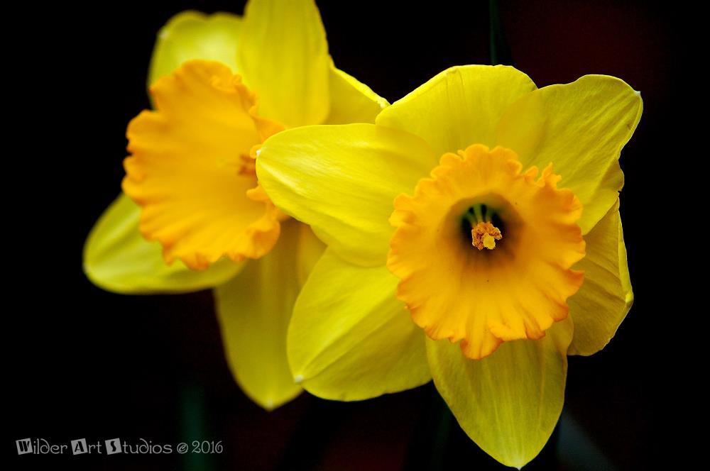 Daffodils | Wilder Art Studios
