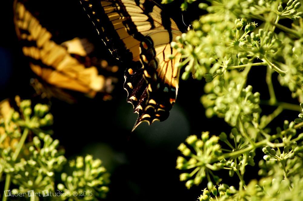 Eastern Tiger Swallowtail   Wilder Art Studios