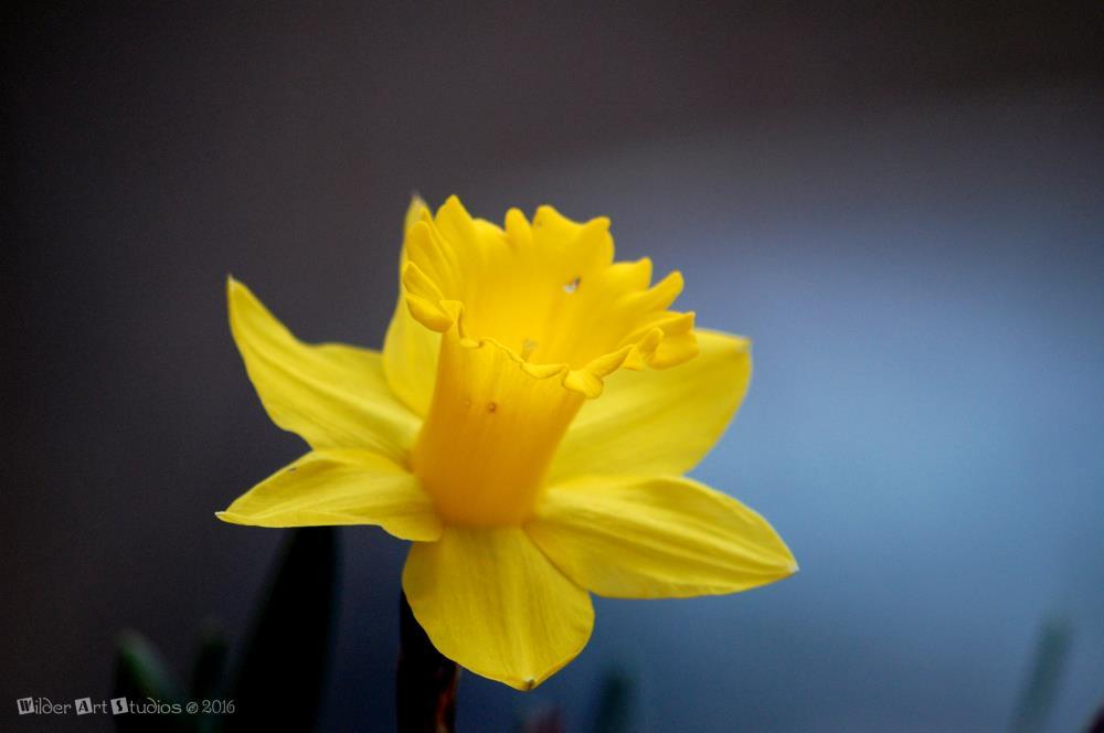 Daffodil | Wilder Art Studios