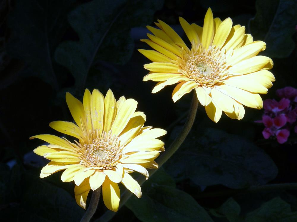 Daisies | Our Collection of Love