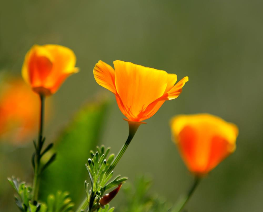 California poppies.  #397 |