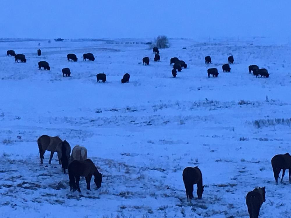 Horses and Buffalo    The Art of J. P. Hutson