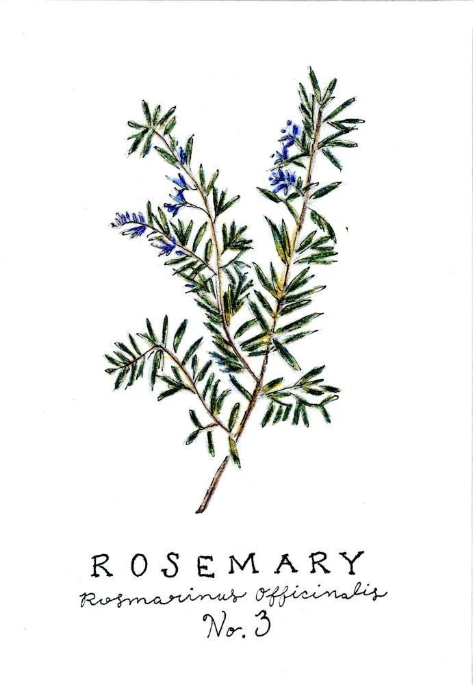 Rosemary   Pencils & Poesy