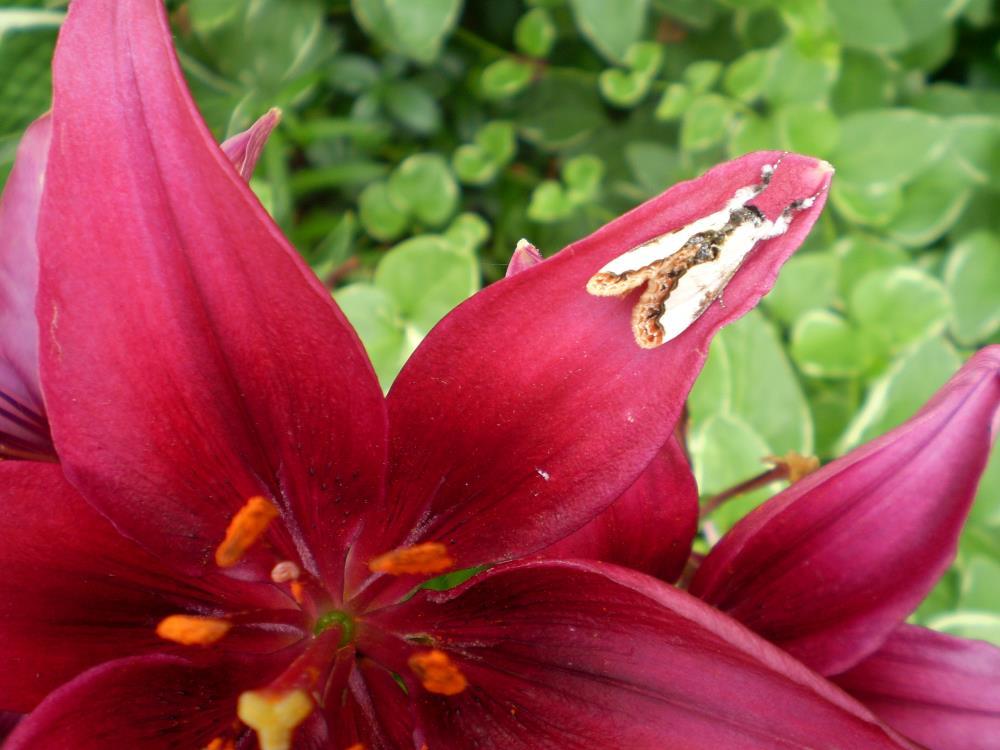Red Lily with Moth   Resurgent Art LLC