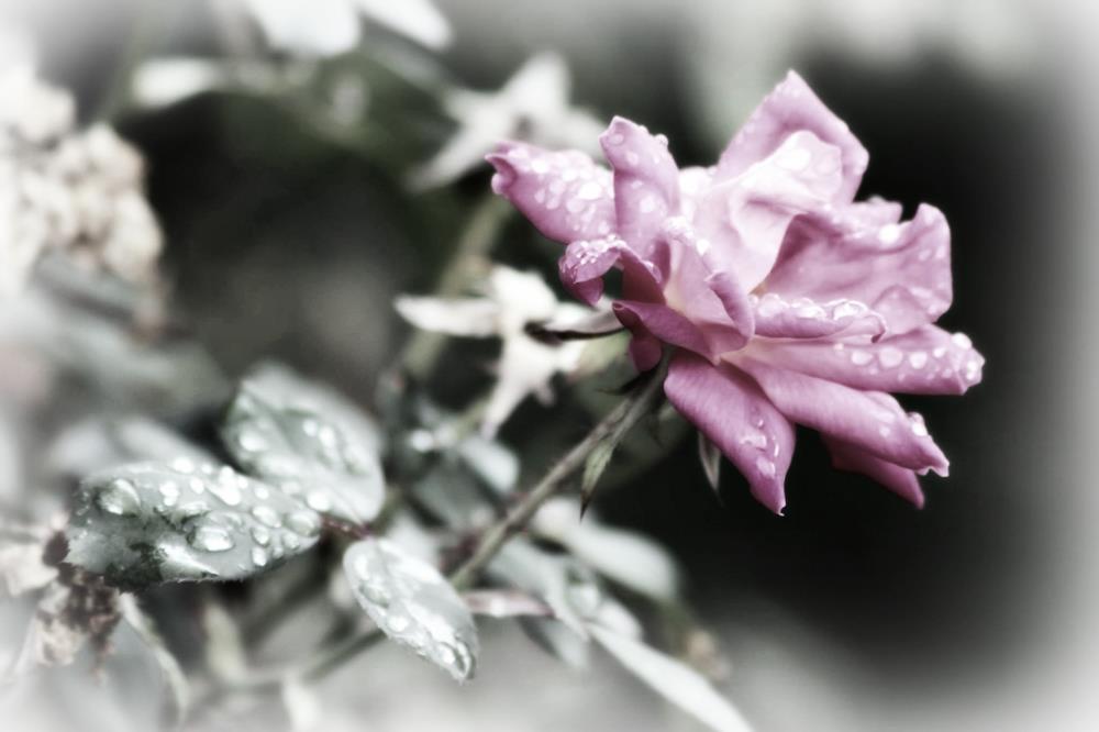 ltpinkrose | Photography Love